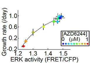 HT-29細胞におけるMEK1/2阻害剤(AZD6244)濃度依存的なERK活性と細胞増殖率の関係性