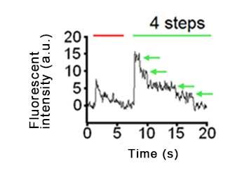 Kv4.2 - DPP10 チャネル複合体の量体数比の蛍光褪色ステップ数