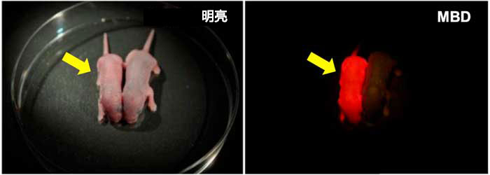 图1.用于甲基化DNA可视化的新生MethylRO小鼠(黄色箭头)。 在激发光照射时,整个身体会通过滤色片(右面板)发出红色光。