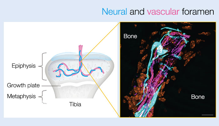 Figure 2:Neural and vascular foramen