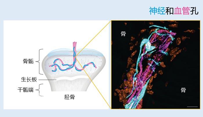 图2:神经和血管孔