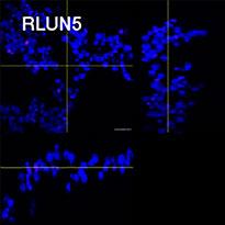 RLUN5