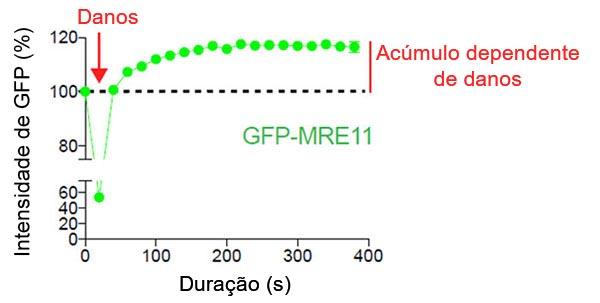 Figura2: Acúmulo de MRE11 dependente de danos no local de quebra do DNA