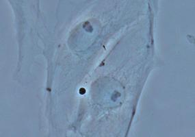 位相差観察(PtK2細胞)