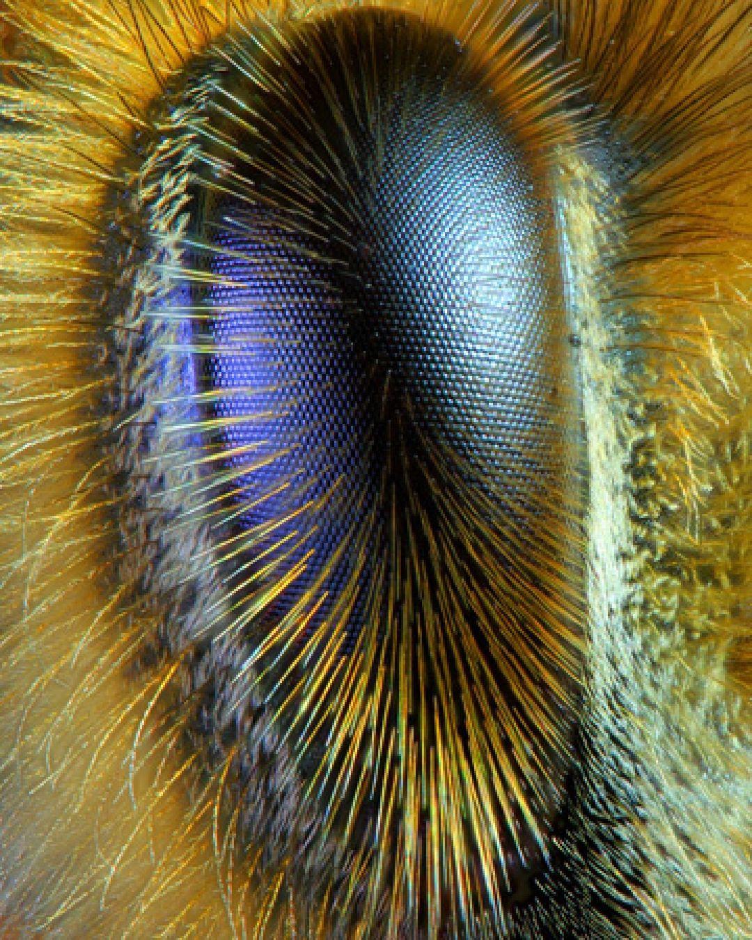 Honeybee eyes under the microscope