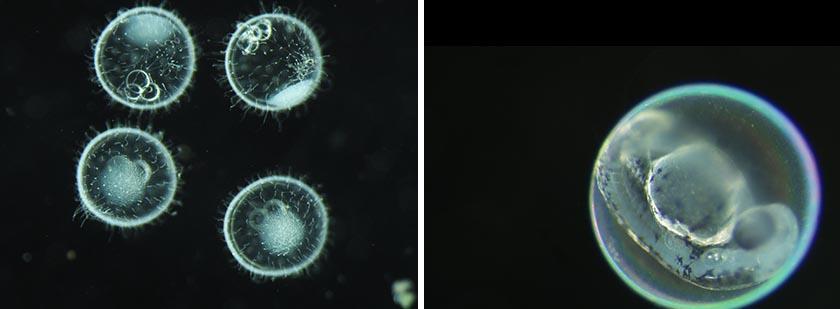Darkfield observation of medaka (left). Darkfield observation of zebrafish (right).