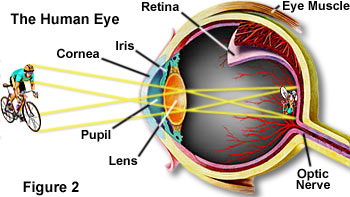 parts of the human eye