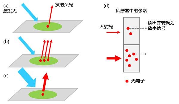 图1 – 从标本到数字信号的转化:(a)被激发的荧光标记分子发射荧光。 当标本中有更多的荧光标记物时,收集到的光强更强(b);而使用更强的激发光时,收集到的光强也会增加(c)。 信号强度与入射传感器的光强度(d)成正比。