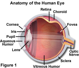The physics of light and color human vision and color perception the human eye is equipped with a variety of optical components including the cornea iris pupil aqueous and vitreous humors a variable focus lens ccuart Choice Image