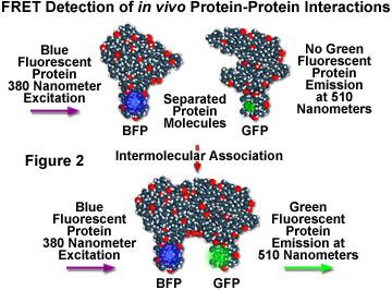 Fluorescence Resonance Energy Transfer (FRET) Microscopy