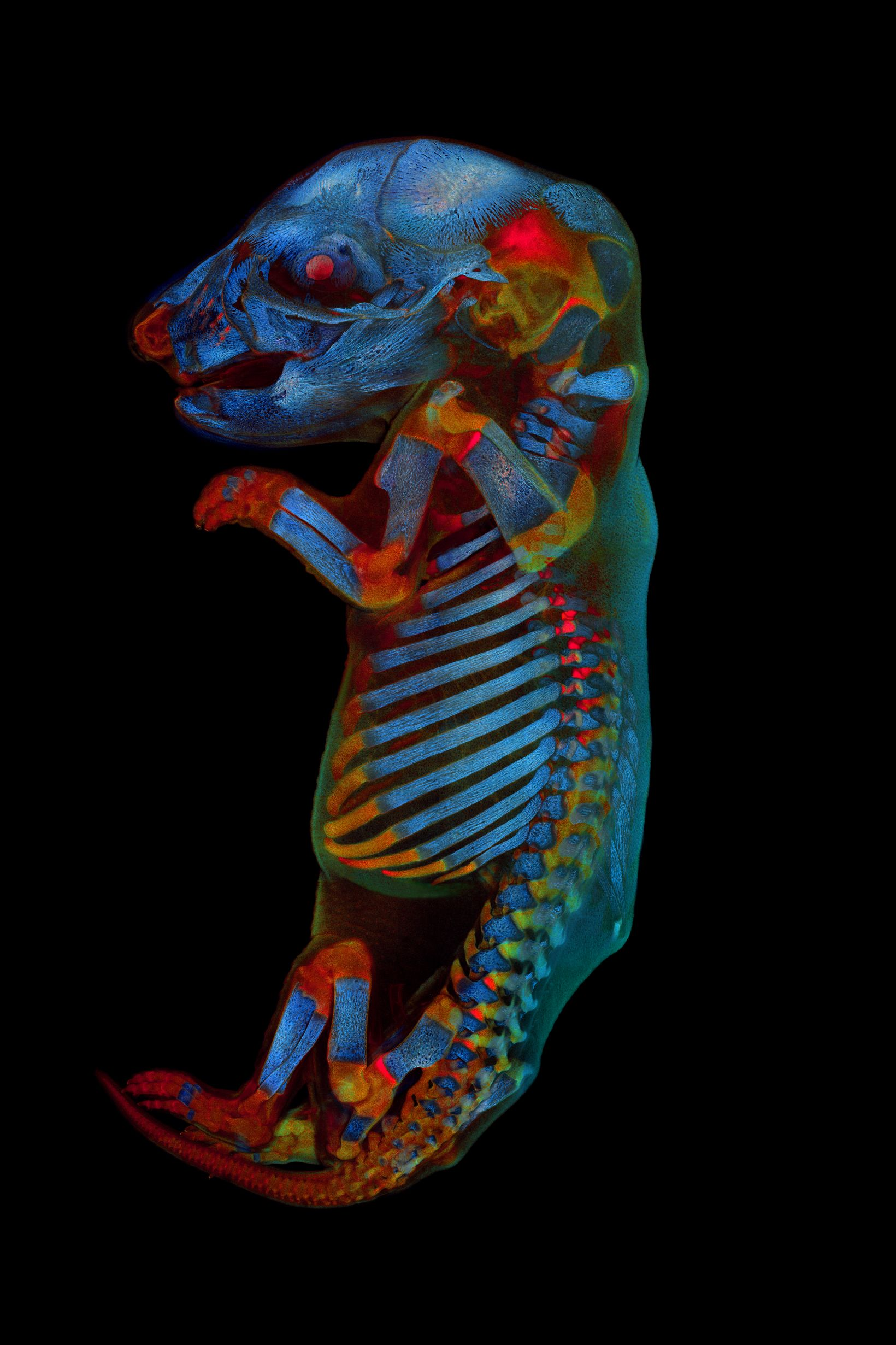 a whole rat embryo captured with a confocal microscope